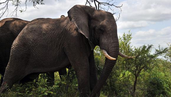 Foto tomada el 6 de febrero del 2013 muestra elefantes en el Parque Nacional Kruger de Sudáfrica. (Foto: ISSOUF SANOGO / AFP)