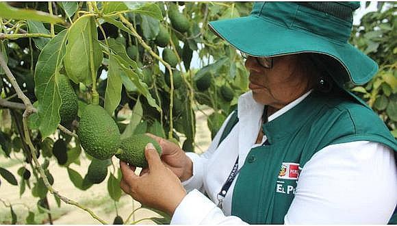 Minagri certifica más de 1,400 t de zapallo en Moquegua
