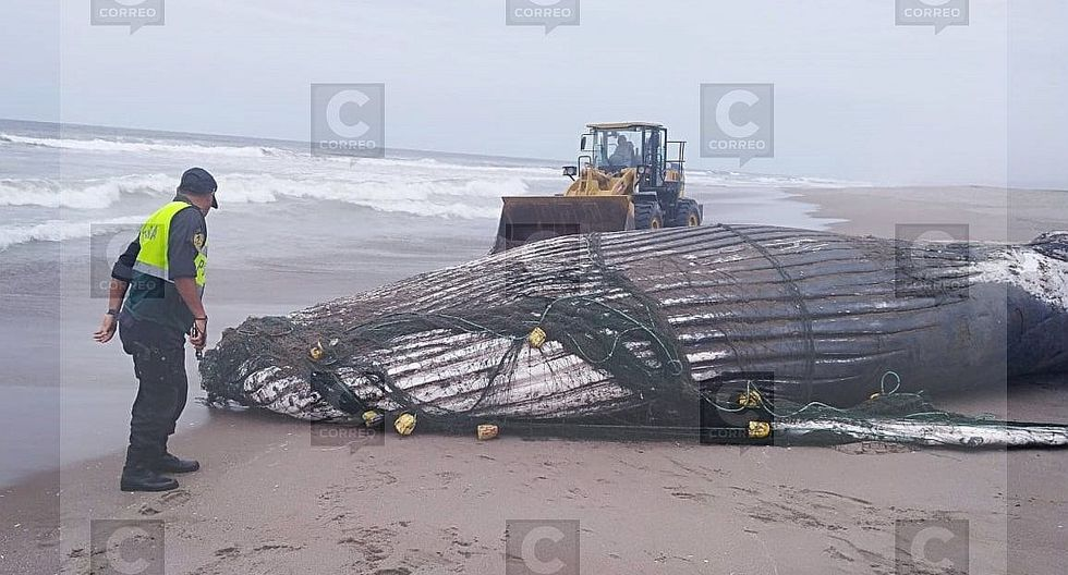 Aparece ballena varada en playa de Los Palos