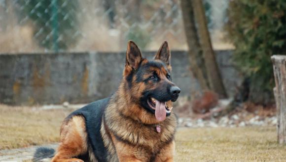 Un pastor alemán de siete años llamado Buddy, quien fue el primer perro en dar positivo al COVID-19 en Estados Unidos, murió el pasado 11 de julio tras estar tres meses enfermo, según National Geographic. Foto: Referencial/Pexels