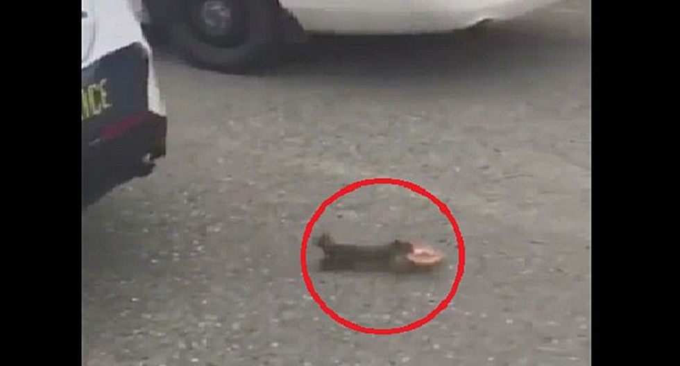 """Ardilla """"roba"""" una dona de patrullero de la policía (VIDEO)"""