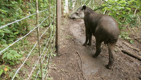 A nivel mundial solo hay cinco especies de tapir y en el Perú habitan dos de ellas. Se trata del tapir andino y el amazónico o sachavaca. (Foto referencial)