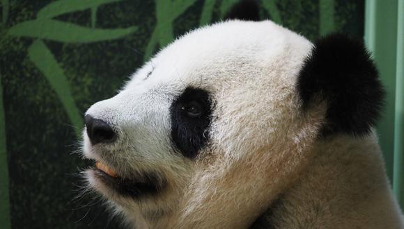 "La panda gigante Huan Huan, que significa ""feliz"" en chino, parió dos cachorros gemelos en el zoológico de Beauval en Saint-Aignan-sur-Cher, en el centro de Francia. (Guillaume SOUVANT / AFP)"
