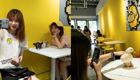 Cafetería les cobra a sus clientes por tomar fotos a patos y cerdos en sus mesas