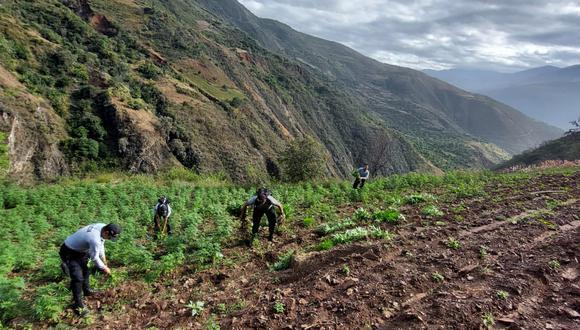 La Policía halló la droga sembrada en tres hectáreas de terreno en la provincia de Sánchez Carrión.