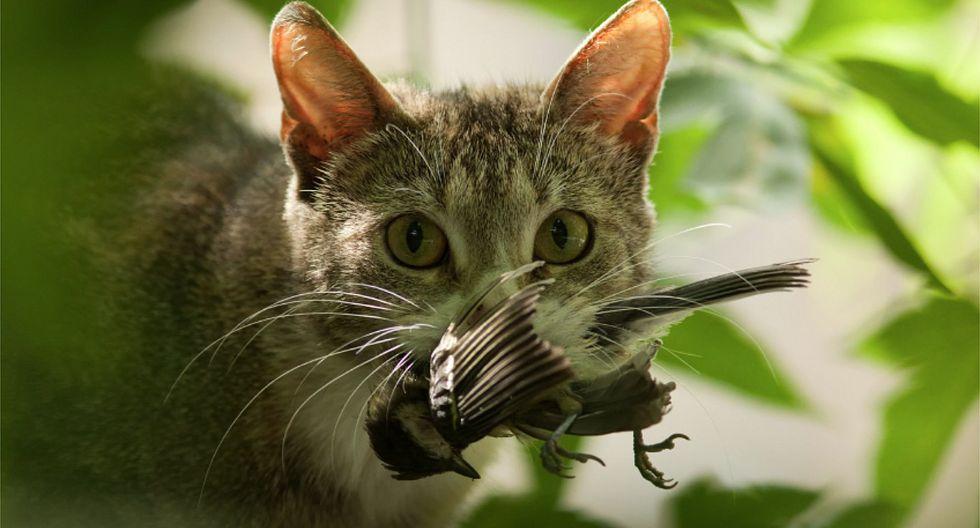 Proponen iniciativa para prohibir gatos domésticos en Nueva Zelanda
