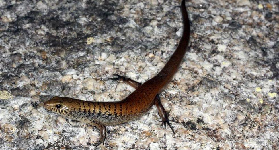 Descubren dos nuevas especies de lagartijas en Australia