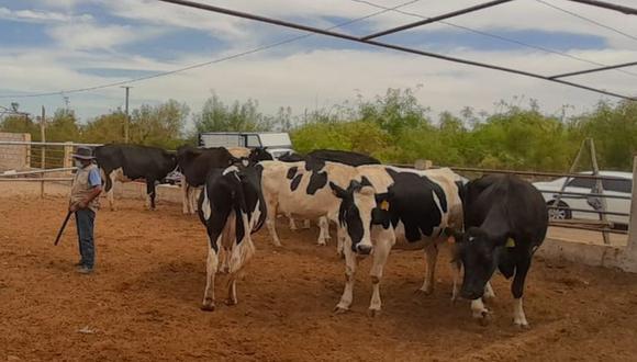 En el año 2017 había más de 37 mil vacas lecheras, pero a la fecha esta cantidad se redujo notablemente. (Foto: Cortesía Autodema)