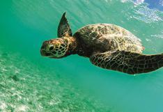 El proyecto de Camisea que busca proteger a las tortugas marinas