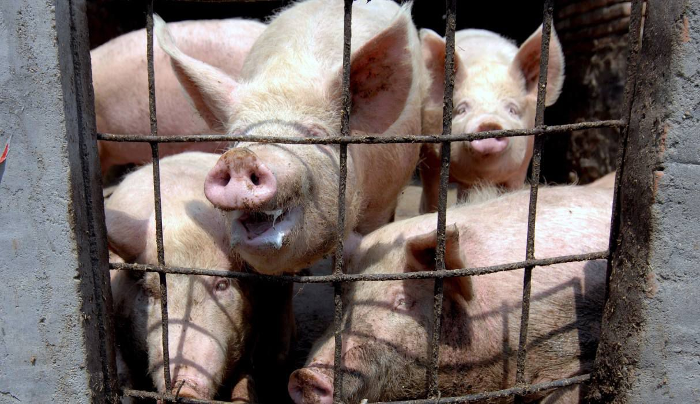 china-informa-de-primer-brote-de-peste-porcina-africana-desde-el-mes-de-julio