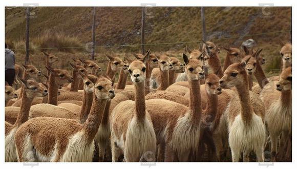 Cusco: países sudamericanos se reúnen para actuar por la conservación de la vicuña