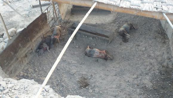 Dos pumas matan cerdos en Nasca