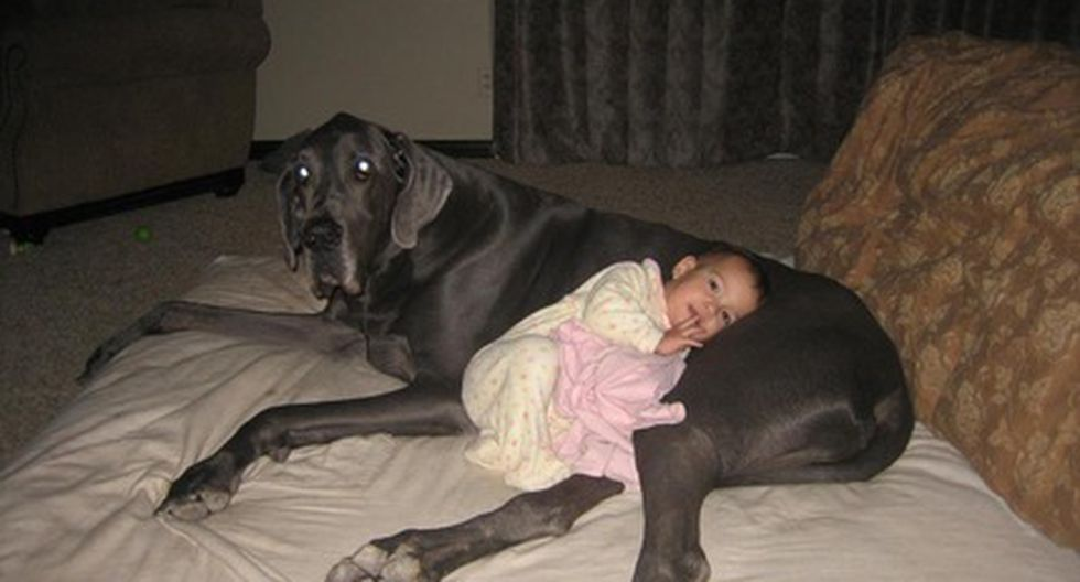 """Murió el perro más grande de mundo: """"Giant George"""""""