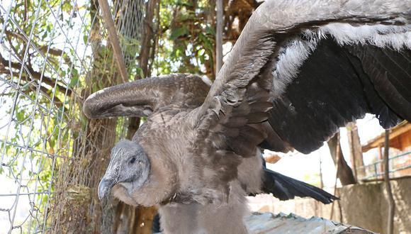 Zoológico Municipal de Huancayo alberga a cóndor incautado en Yauyos (VIDEO)