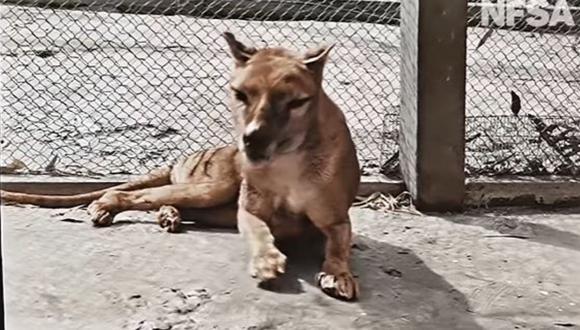 Usuarios de redes sociales quedaron compararon la forma del Tigre de Tasmania con la de un perro. (Foto: Captura/YouTube)