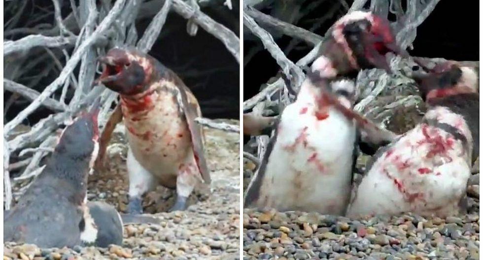 """Pingüino encontró a su pareja con """"amante"""" y se desató la lucha más sangrienta (VIDEO)"""