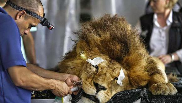 33 leones rescatados de circos de Colombia y Perú serán liberados en África