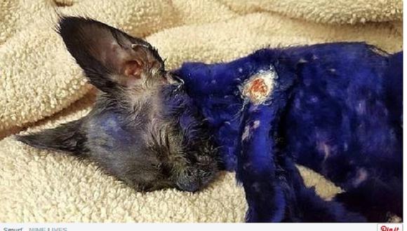 Facebook: Gatito teñido de azul que servía de juguete a perro será adoptado (FOTOS)