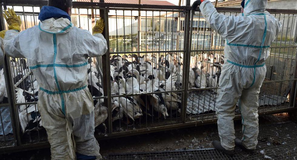 Imagen referencial. El virus de la gripe aviar está presente en varios países europeos, entre ellos Francia, donde millones de animales fueron sacrificados para frenar su progresión. (REMY GABALDA / AFP).