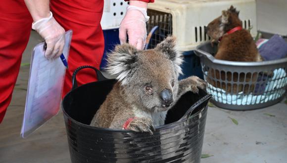 Los koalas han sido una de las especies más afectadas por los incendios forestales. (AFP)