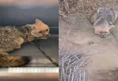 Rescatan a zorro andino que estaba encadenado a un tronco en Huánuco (VIDEO)