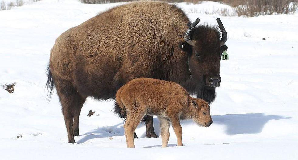 Canadá: Nace un bisonte por primera vez en 140 años en parque (FOTOS)