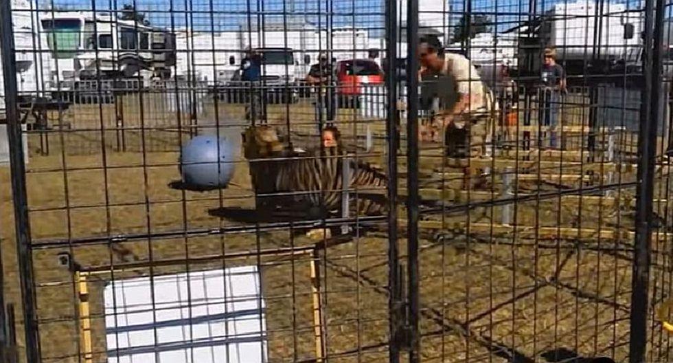 YouTube: Tigre ataca a domadora durante exhibición para escolares