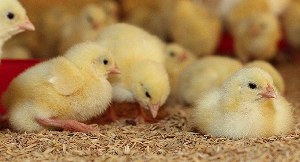 Trituración de pollitos causa polémica y gran conmoción