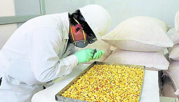 300  variedades de maíz se han inscrito en el mundo, el 90% está en América  y 53% en Perú. Mejoran su producción y exportación.