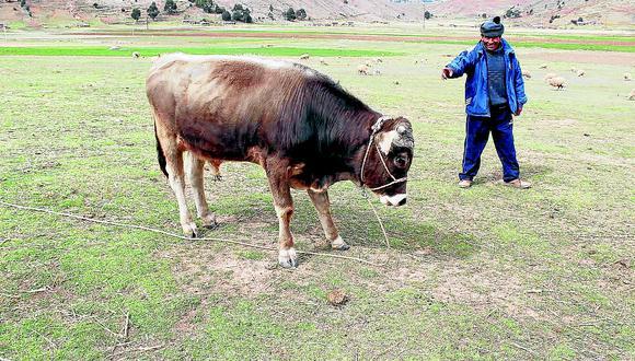 Azángaro: Toro arrastra a su dueño unos 300 metros y lo mata