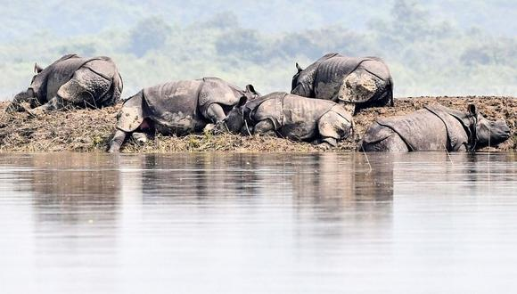 Rinocerontes en peligro de extinción mueren en inundaciones en India