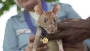 "Jubilan a la famosa rata ""buscaminas"" en Camboya"