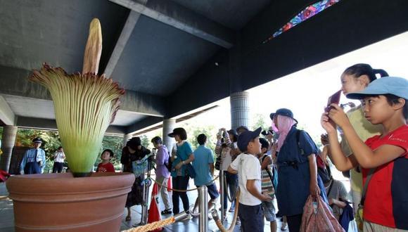 Japón: Florece en un parque la flor más grande del mundo
