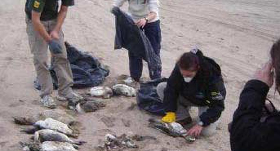 Hallan 500 pingüinos muertos en litoral del sur de Brasil