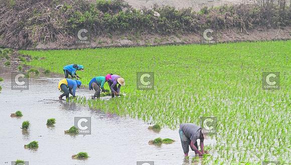 Río Majes pone en alto riesgo 7 mil ha de arroz