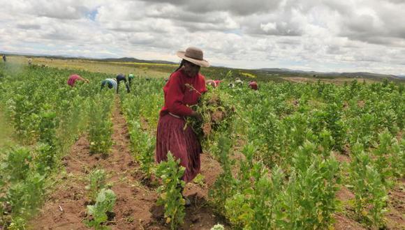 La quinua que se produce en Puno cuenta con certificación orgánica. (Foto: Difusión)