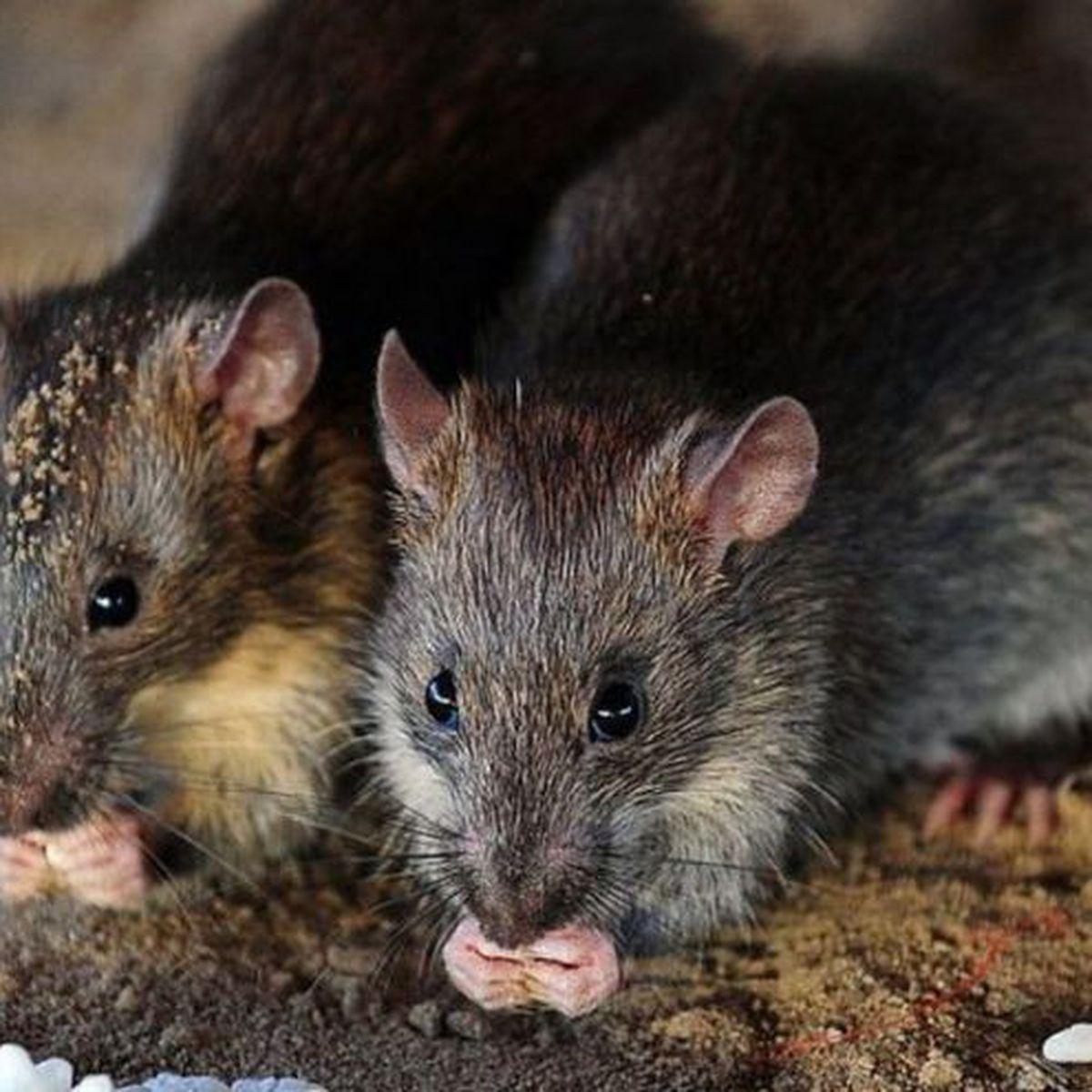 enfermedades caca raton
