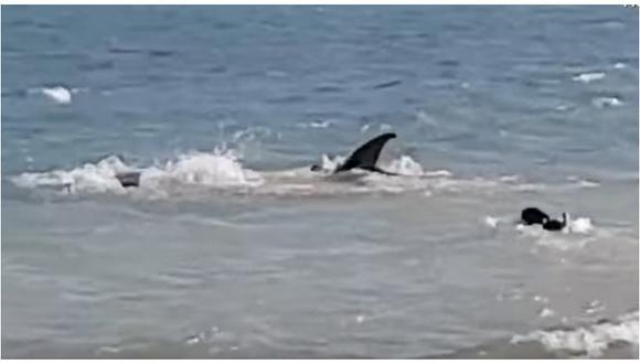 Perro sorprende nadando a orillas del mar para espantar a un tiburón (VIDEO)