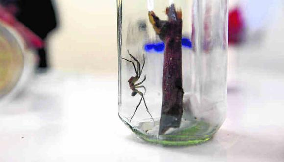 Casos de picadura de araña en Junín aumenta en un 30%