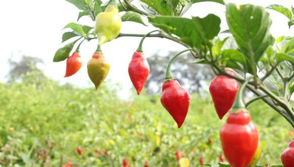 Identifican a cinco variedades nativas de ají con importantes características. (Foto: Minagri)