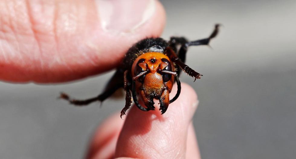 El entomólogo del Departamento de Agricultura del Estado de Washington, Chris Looney, muestra un avispón gigante asiático muerto en Blaine. (AFP / POOL / Elaine Thompson).