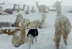 Crías de alpaca mueren por fuertes nevadas en Cusco (VIDEO)