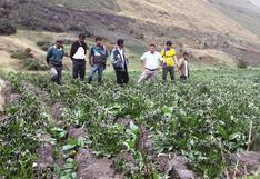 Heladas afectan más de 4 500 hectáreas de papa en 27 distritos de Huánuco