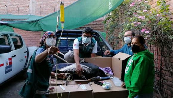 Cóndor intoxicado por consumir carne se encuentra en recuperación  Foto: Serfor