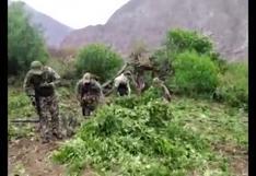 FF.AA. incineran 15 mil plantaciones de hoja de marihuana en Ayacucho (VIDEO)