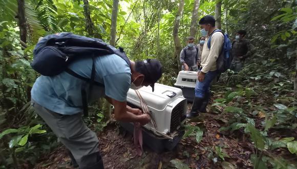 San Martín: disponen liberación de dos monos choros a su hábitat natural (Foto: Gore San Martín)
