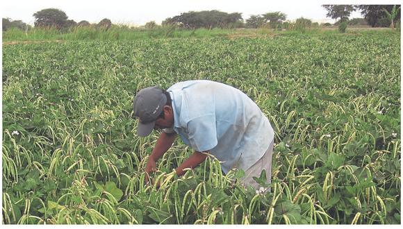 Los agricultores del Medio y Bajo Piura se verán perjudicados con esta medida. Más de 8 mil hectáreas de cultivos dejarán de regarse.