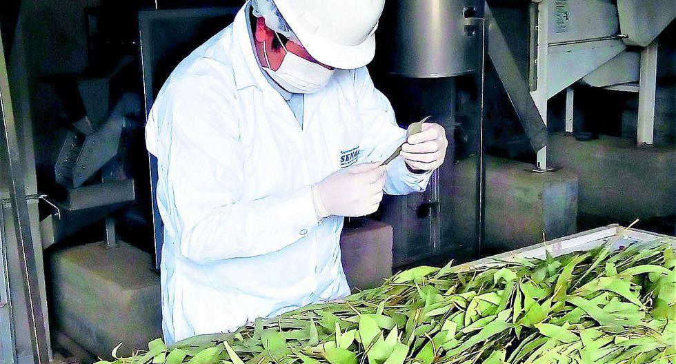 Productores del Valle del Mantaro exportarán hojas secas de Eucalipto hacia Alemania