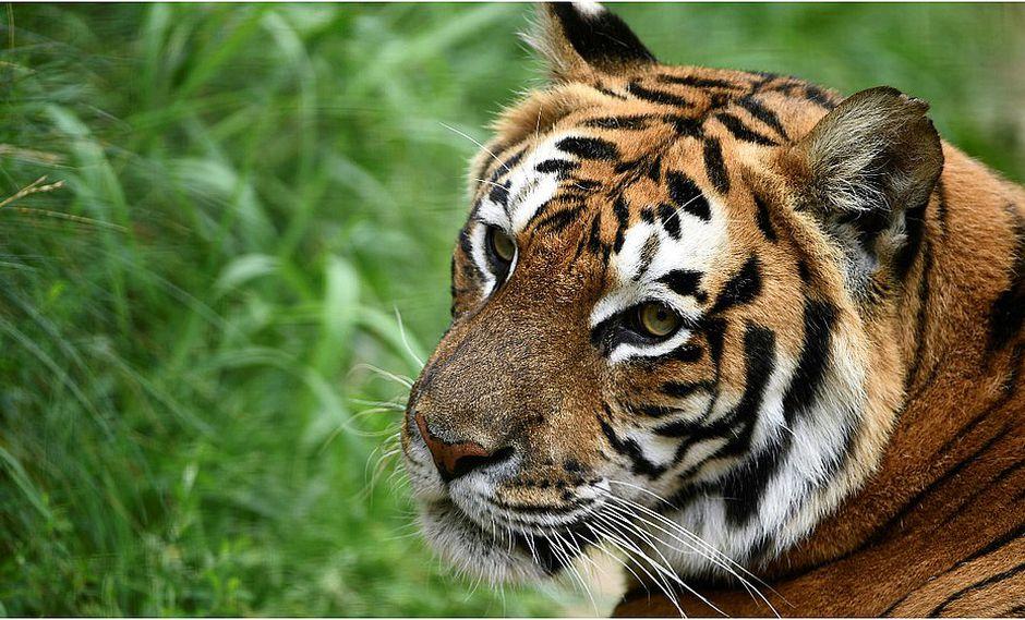 Tigre ataca a su cuidador y le arranca los brazos (VIDEO)