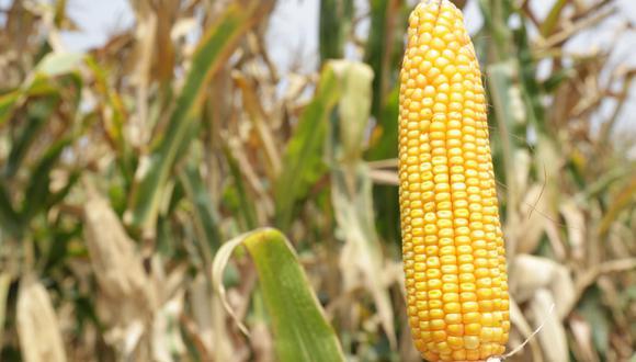 Lambayeque: desarrollan nuevo material genético para potenciar calidad del maíz amarillo duro (Foto: Midagri)